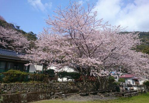 桜の花が見頃です。